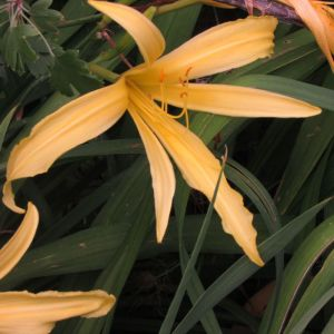 Spider flower form daylily