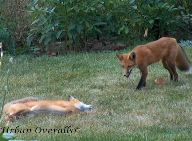 young foxes playing in our yard