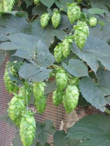 Close-up of hops on the vine