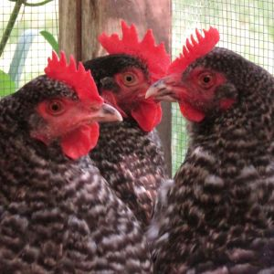 Marans in chicken run