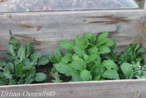 cold frame with veggies