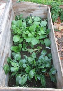radish and peas in cold frame