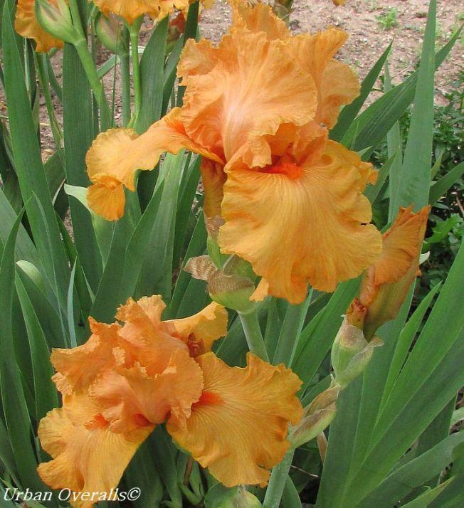 soft orange iris