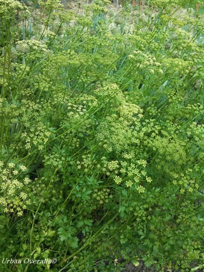 second year parsley with flower heads