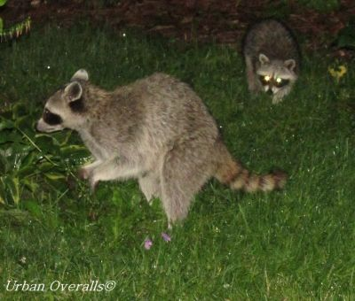 nocturnal raiding raccoons