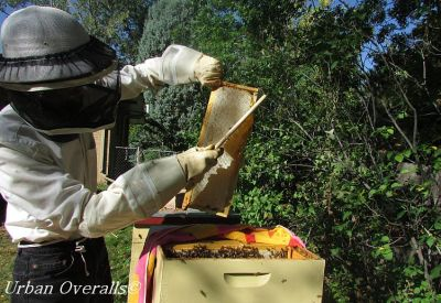 brushing bees from honey frame