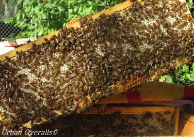 frame full of capped honey