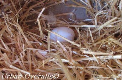 egg-in-nest-box-cr