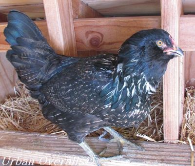 hen staking her claim at her favorite nest box