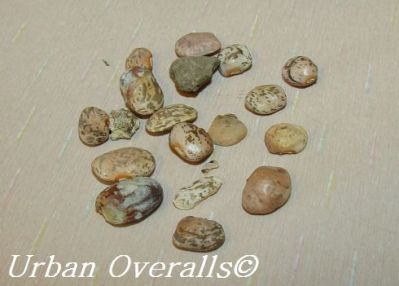 moldy beans with assorted shriveled beans and pebbles
