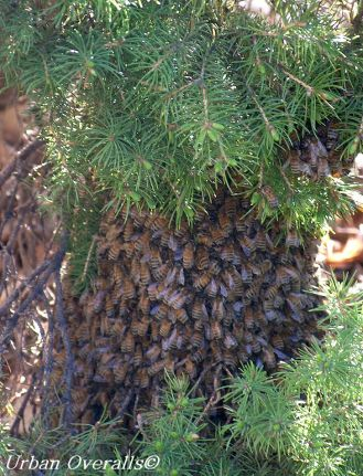 honey bee swarm on tree branch