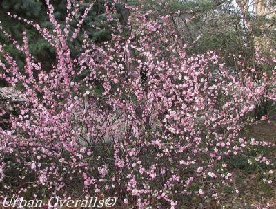 Pink Flowering Almond shrub