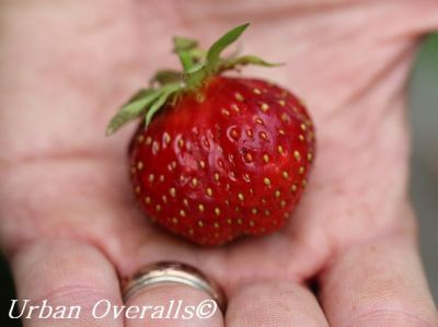 freshly picked strawberry