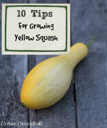 10 tips for growing yellow squash