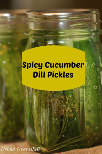 canned spicy dill pickles