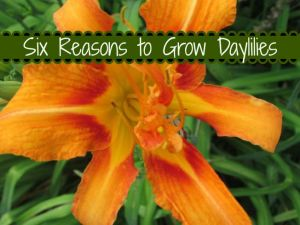 single daylily