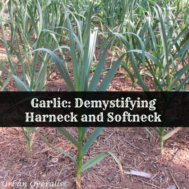 garlic-cr-pm