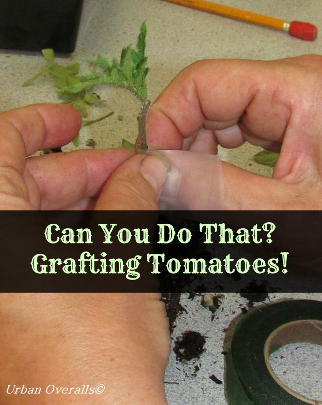 grafting tomatoes